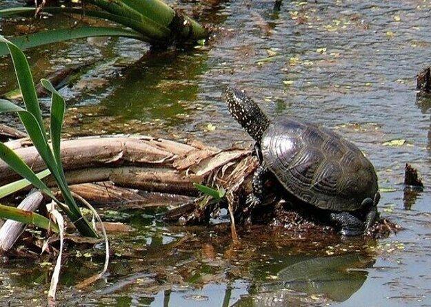 Korytnačka močiarna je jediný pôvodný druh korytnačky vyskytujúci sa na Slovensku.