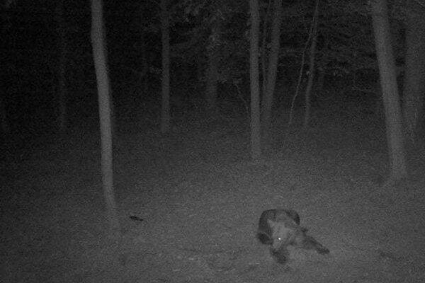 Medveď v prievidzskom lesoparku.