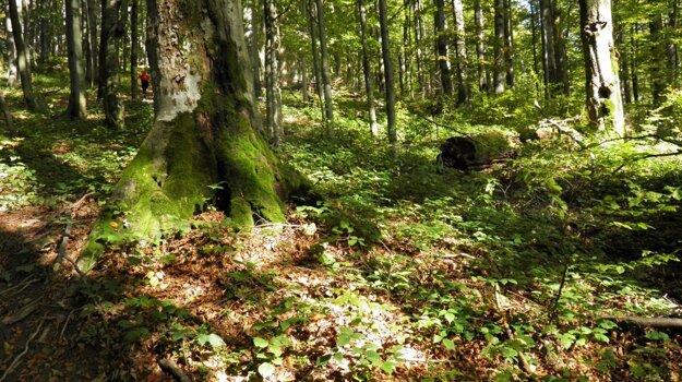 Karpatské bukové pralesy sú cezhraničným svetovým dedičstvom.
