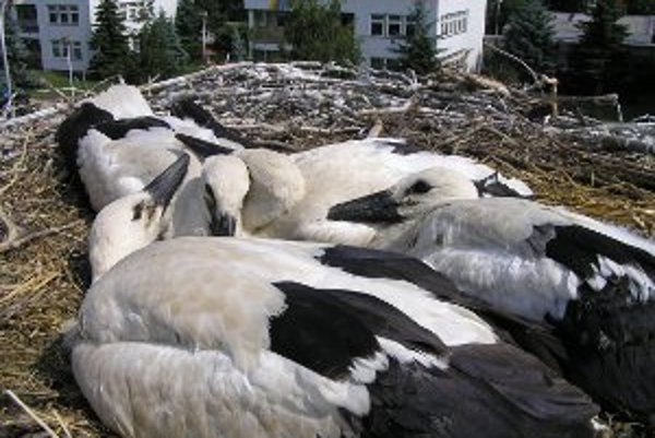 Bociany v Zlatých Moravciach a okolí hniezdia pravidelne, no je ich málo. Ornitológov prípad streľby do bociana šokoval.
