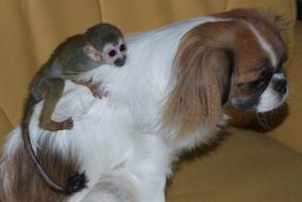 Opica Bimbo váži tristo gramov.