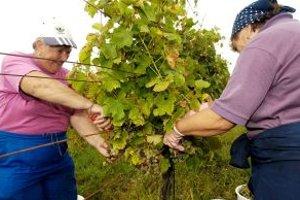 Vinobranie v nitrianskom regióne.