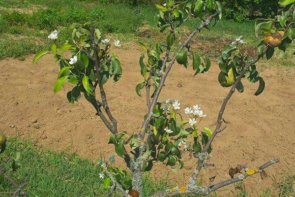 Mladá hruška v Častkovciach kvitne druhýkrát tento rok.