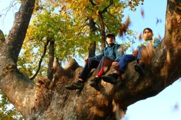 Deti sedia na konári vlaňajšieho víťaza, javora horského v Drietome.