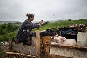 Janičovci chovajú v chlieve sviňu.