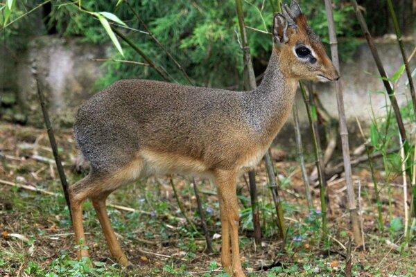 Na samičku najmenšej antilopy Daphne, ktorá je v karanténe, si musí Dikdik ešte počkať.