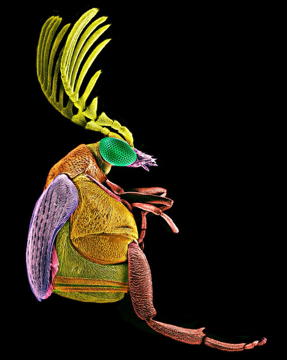 Chrobák Megacerus z botanickej záhrady