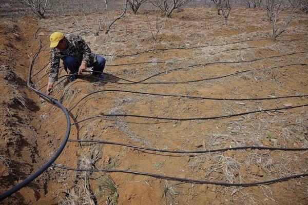 Farmár pripravuje zavlažovacie zariadenia v čerešňovej záhrade vo východočínskej provinci Šan-tung.