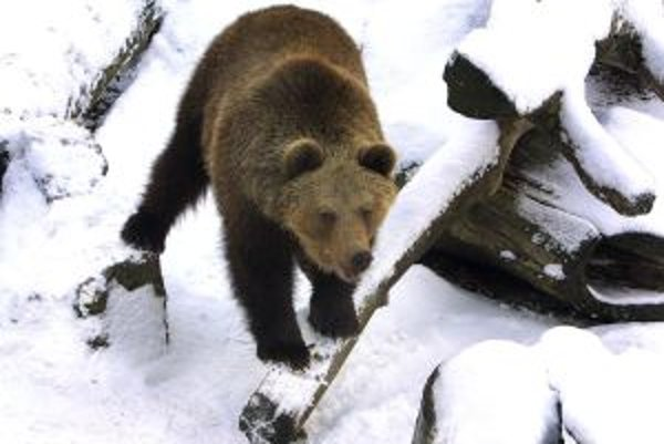 V Kremnických vrchoch už treba počítať s prebudenými medveďmi.