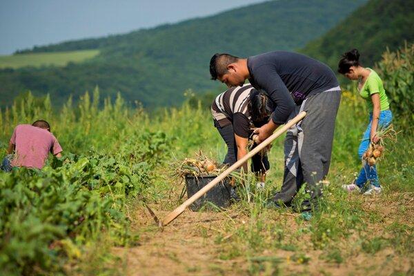 Zber cibule. Rómovia obnovujú spustnuté pozemky biofarmárskymi metódami. Vďaka využitiu bioodpadov a dažďovej vody pripravujú pôdu na pestovanie a učia sa potravinovej sebestačnosti.