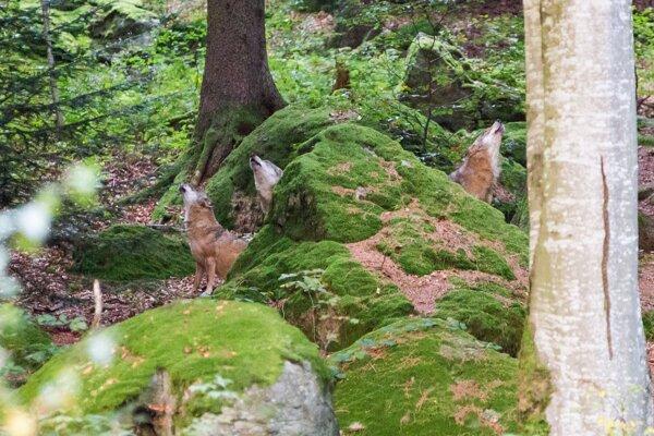 Vlky sú aktívnejšie až podvečer, pravidelne zavýjajú.