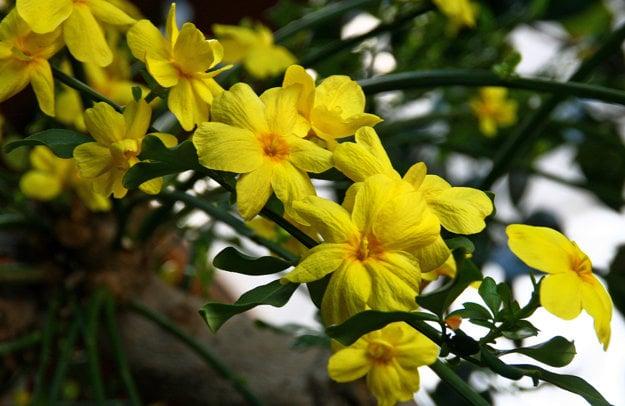 Niektoré druhy jazmínu majú žlté kvety.