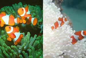 Klaun očkatý v zdravom a blednúcom korale.