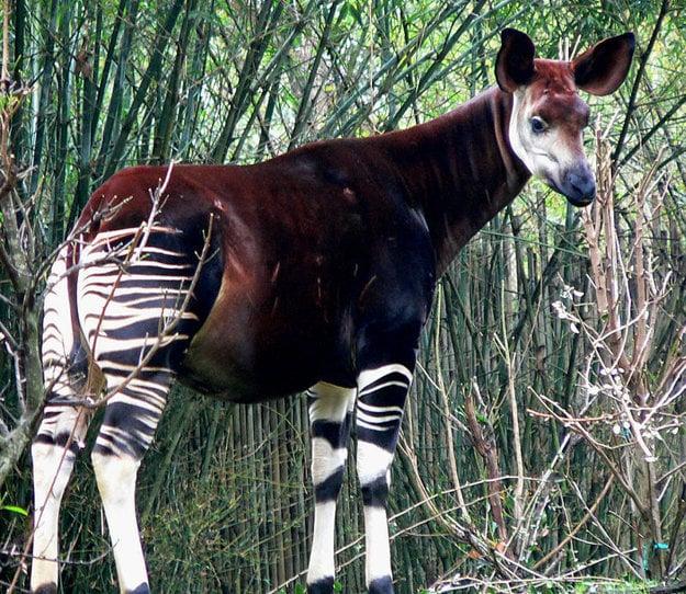 Okapi, najbližší príbuzný žirafy.