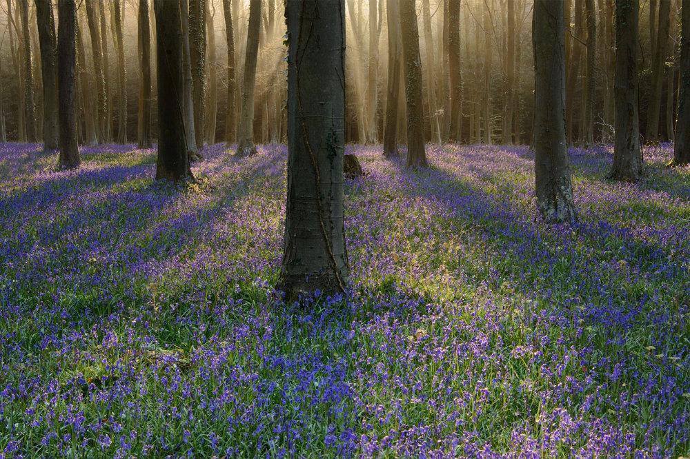 Bluebells. Východ slnka v lese.
