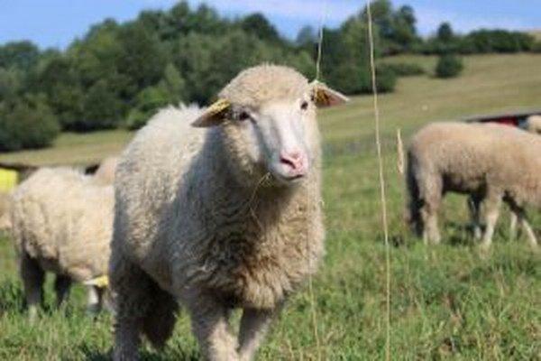Termín zháňania oviec záleží od počasia.