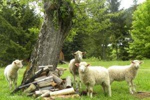 Návštevníci kysuckého skanzenu si budú môcť pozrieť strihanie ovečiek.