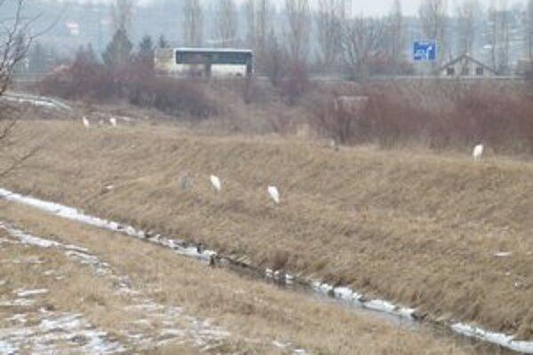 Vtáctvo sa počas mrazov presunulo do mesta k tečúcej Podlužianke.