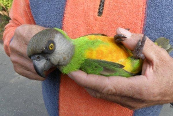 Papagáj senegalský menom Griško na stravu náročný nie je.