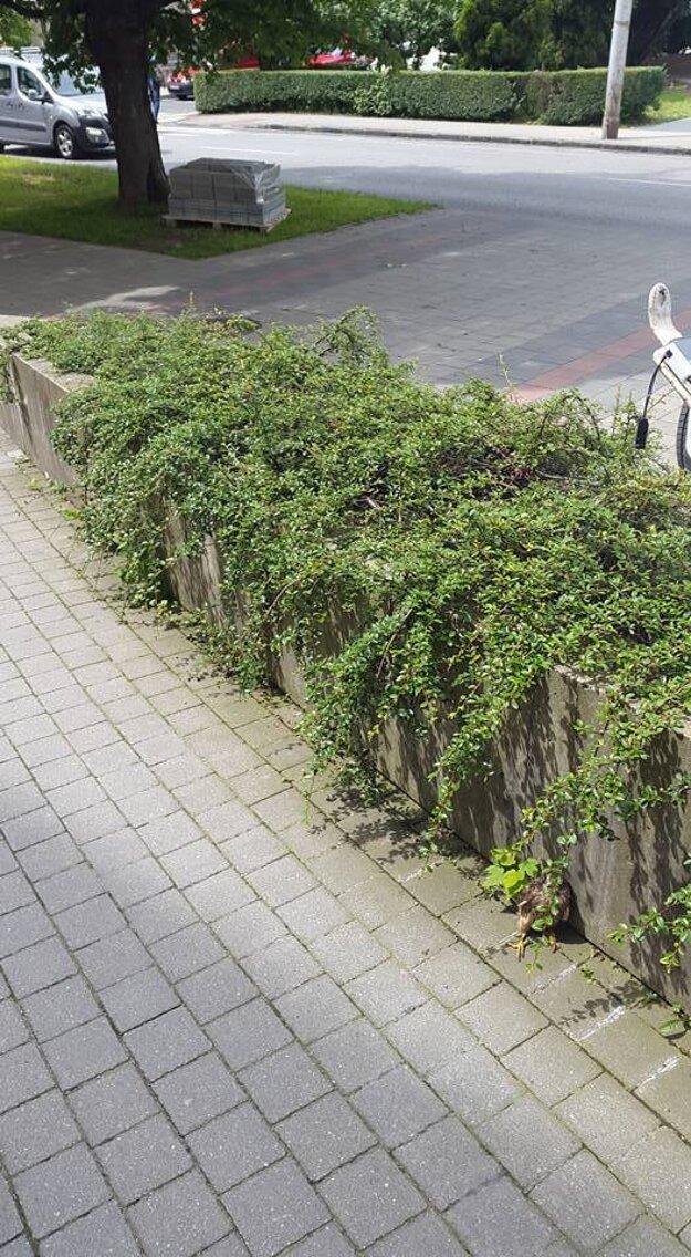 Nevidieť ho? Snažil sa ukryť za popínavé rastliny.