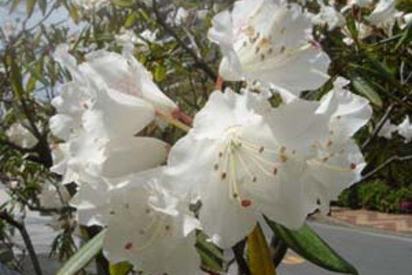 Keď kvitne rododendron.