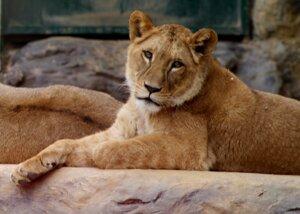 Levicu Zaru z bojnickej zoo museli pre vážne zdravotné problémy utratiť.