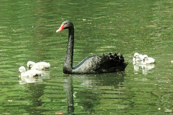Labute čierne. Na jazierko už vyviedli svoje potomstvo.