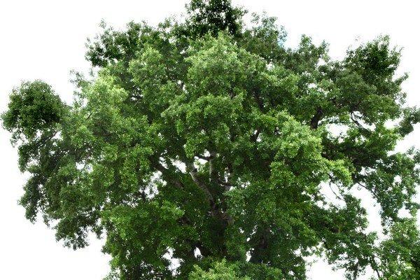 Topoľ biely. Dostal sa aj do užšieho výberu na ocenenia Strom roka 2009.