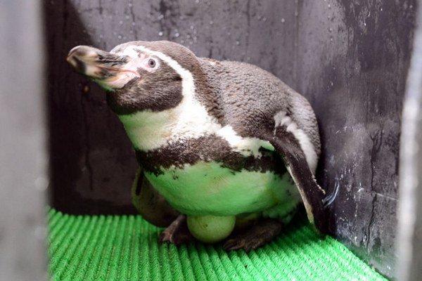 Na snímke samec Pepo sedí na vajíčkach.