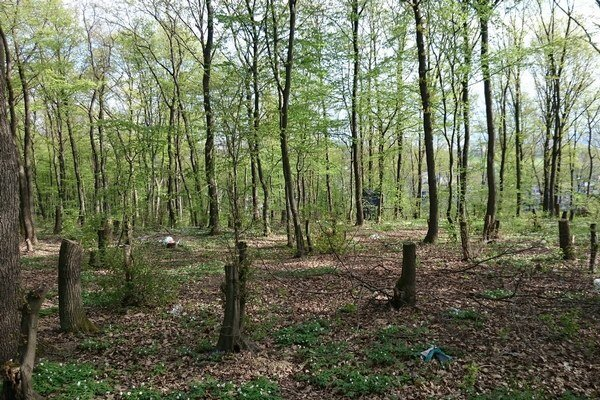 Miznú stromy. V lese sa po zime objavili odpílené kmene.