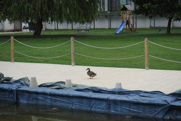 Divá kačka z Beach Clubu. Preč ju chcú dostať tak, že použijú lesť – vypustia jej bazén.