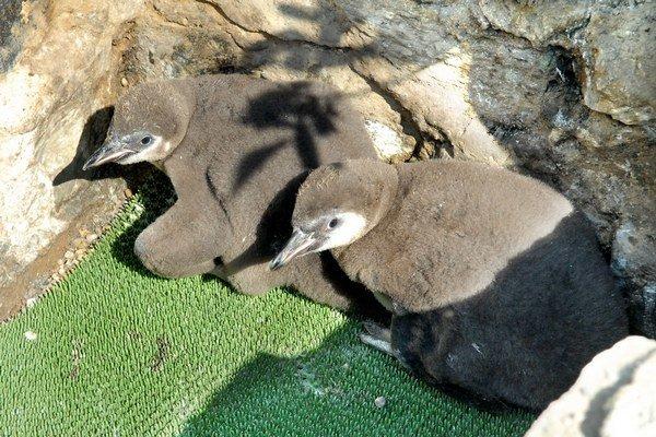 Starostlivými rodičmi týchto dvoch krásavcov je samec Pepo a samička Cilka.