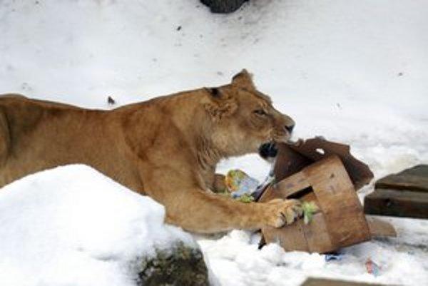Deti výbeh pre levy fascinuje.