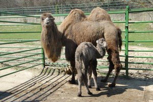 Ťavička. Desiata v poradí, ktorá sa narodila v košickej zoo.