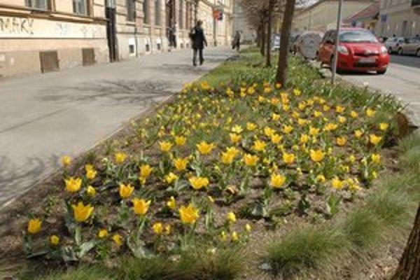 Záhony. Sezónu v meste otvárajú kalichy tulipánov.