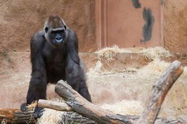 Gorile Anne sa zatiaľ v košickej zoo páči.