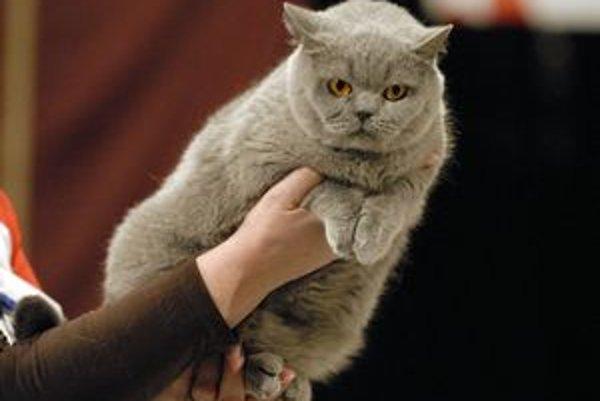 Princess Lovely Panther. Takto vyzerá najkrajšia britská mačka na Slovensku.