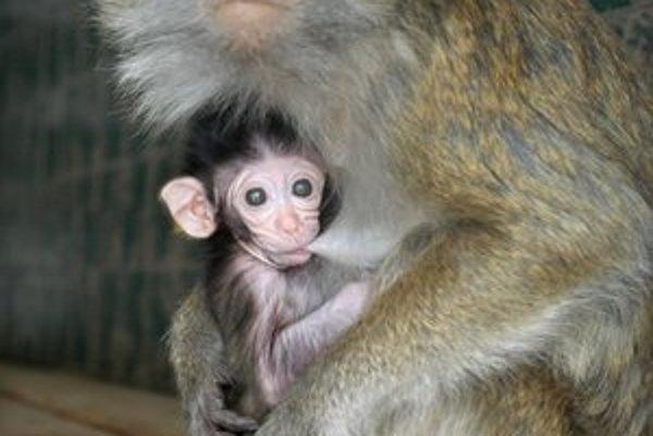 Čerstvý prírastok. Z malého makaka dlhochvostého sa vykľul ďalší samček.