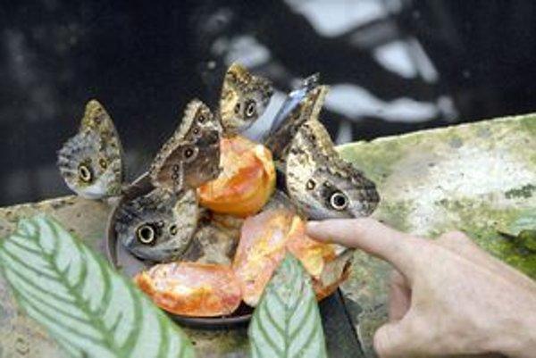 Motýle vypredali. Štvrtá výstava motýľov sa skončila úspechom. Videlo ju viac než 20-tisíc návštevníkov.