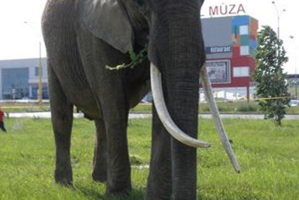 Africké slony. Tento rok vystriedajú šelmy.