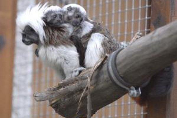 Atrat a Magdalénka. Krásne opičky sa zvedavo rozhliadali z chrbta mamky.