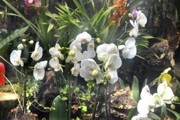 Úspešná výstava. Kráse tropických orchideí neodolalo počas výstavy 7 863 návštevníkov botanickej záhrady.