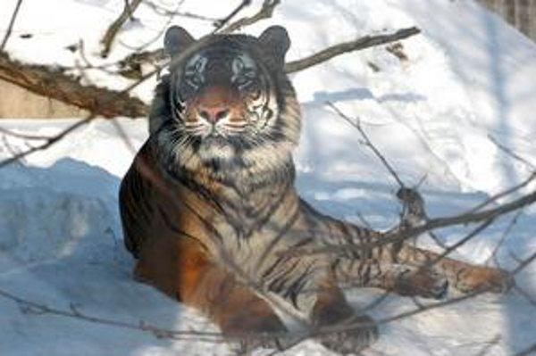 Adopcia za 999 eur. Tiger ussurijský a aj tulene vyjdú najdrahšie.