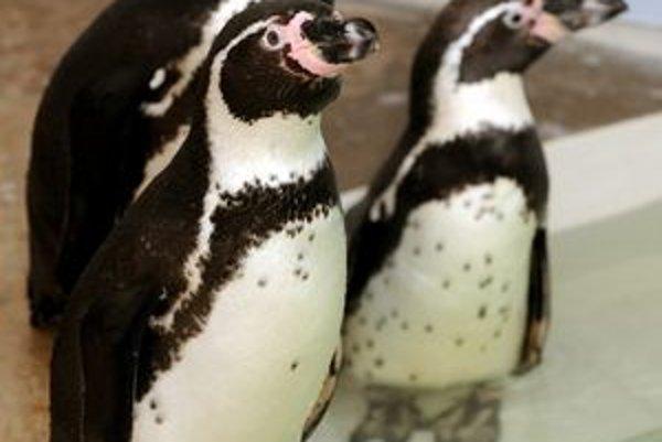 Kauza mŕtveho tučniaka sa skončila abdikáciou riaditeľa košickej zoo.
