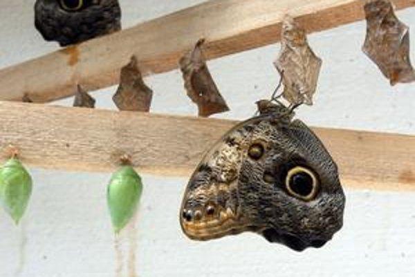 Motýlia šou. Kukly sa prebúdzajú k životu každý deň. Nové kolekcie sú ešte na ceste. Botanická hýri farbami i návštevníkmi.