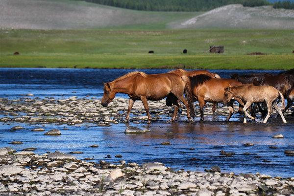 Typické Mongolsko, voľne žijúce a pasúce sa kone.