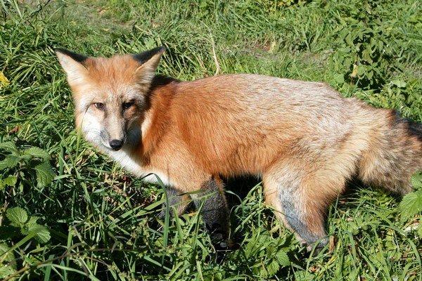 Líšky začali migrovať a hľadajú si nové teritóriá.