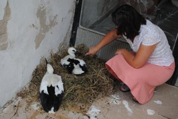 Bociany. Dve mláďatá sú momentálne súčasťou Štátnej ochrany prírody v Prešove.