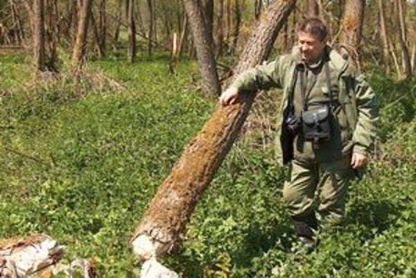 Vladimír Makara. Vraví, že bobor dokáže spôsobiť aj pád stromu.