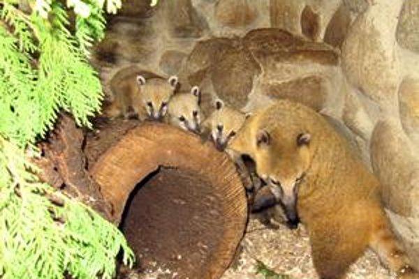 Matka s mláďatami. Je inak krotká, ale teraz si svoje ratolesti chráni.